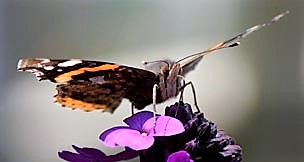 Link to  Butterfly Conservation