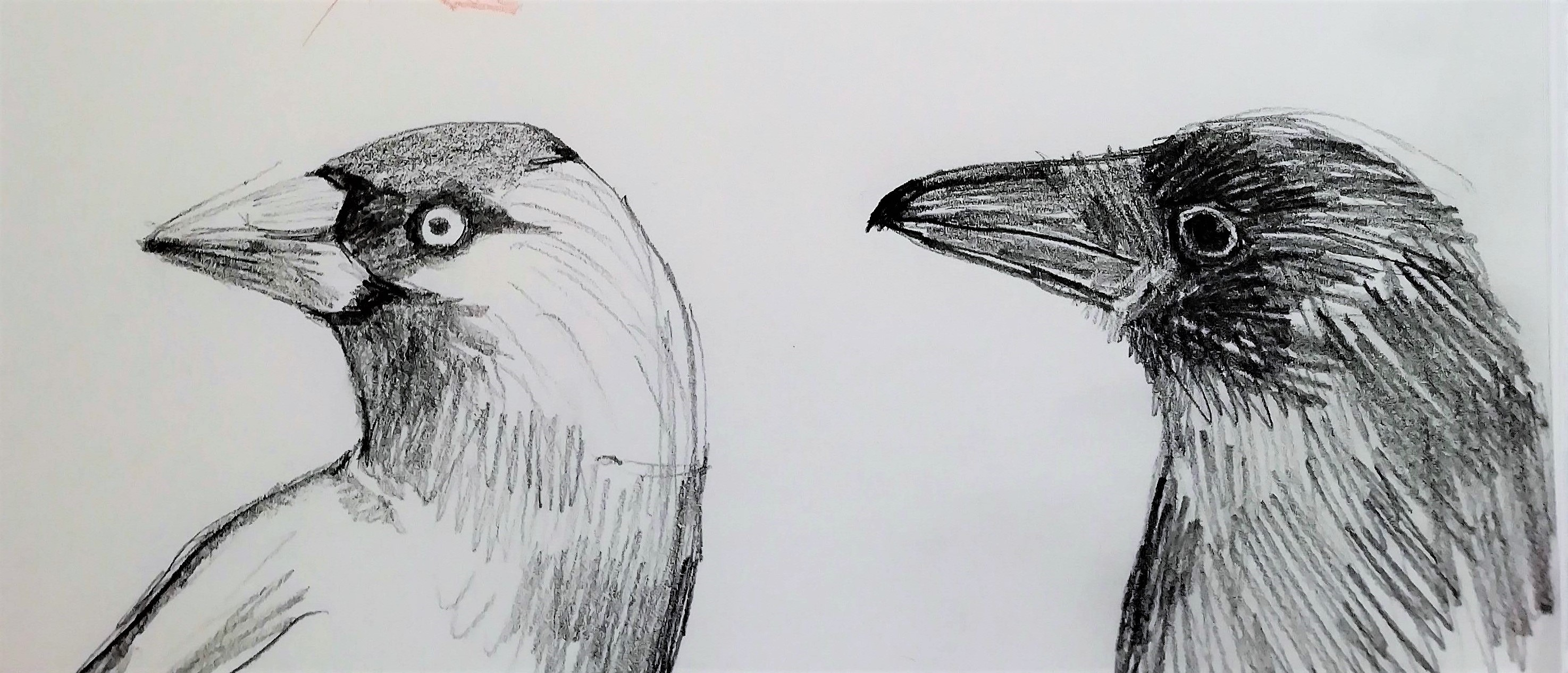 Crow and Jackdaw sketch