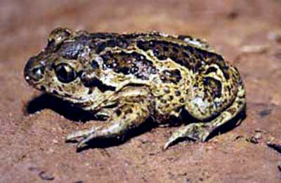 Spadefoot toad in France