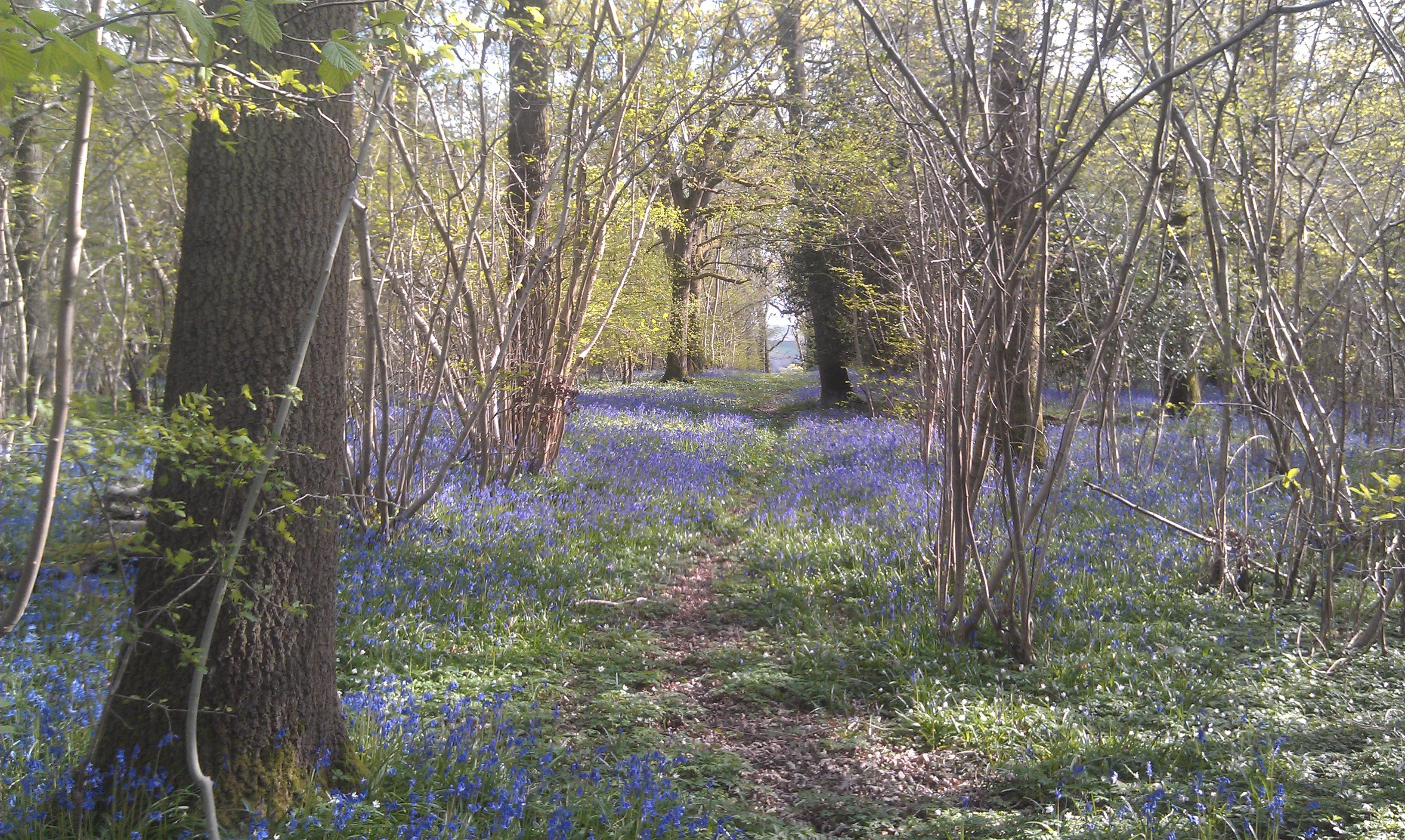Bluebells at Bonny's Wood