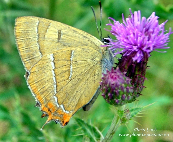 Brown Hairstreak butterfly on Creeping thistle France