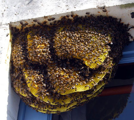 Bee colony in a window, France
