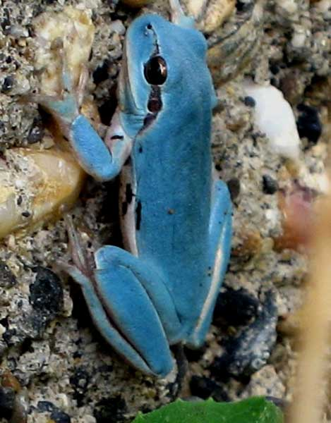 Blue stripeless tree frog in France