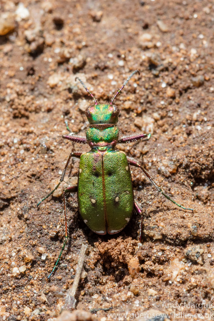 Green Tiger Beetle 6018