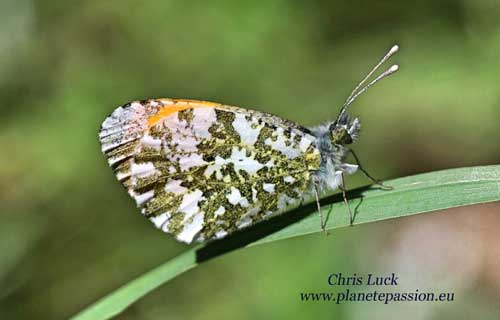 Orange tip butterfly Male, France