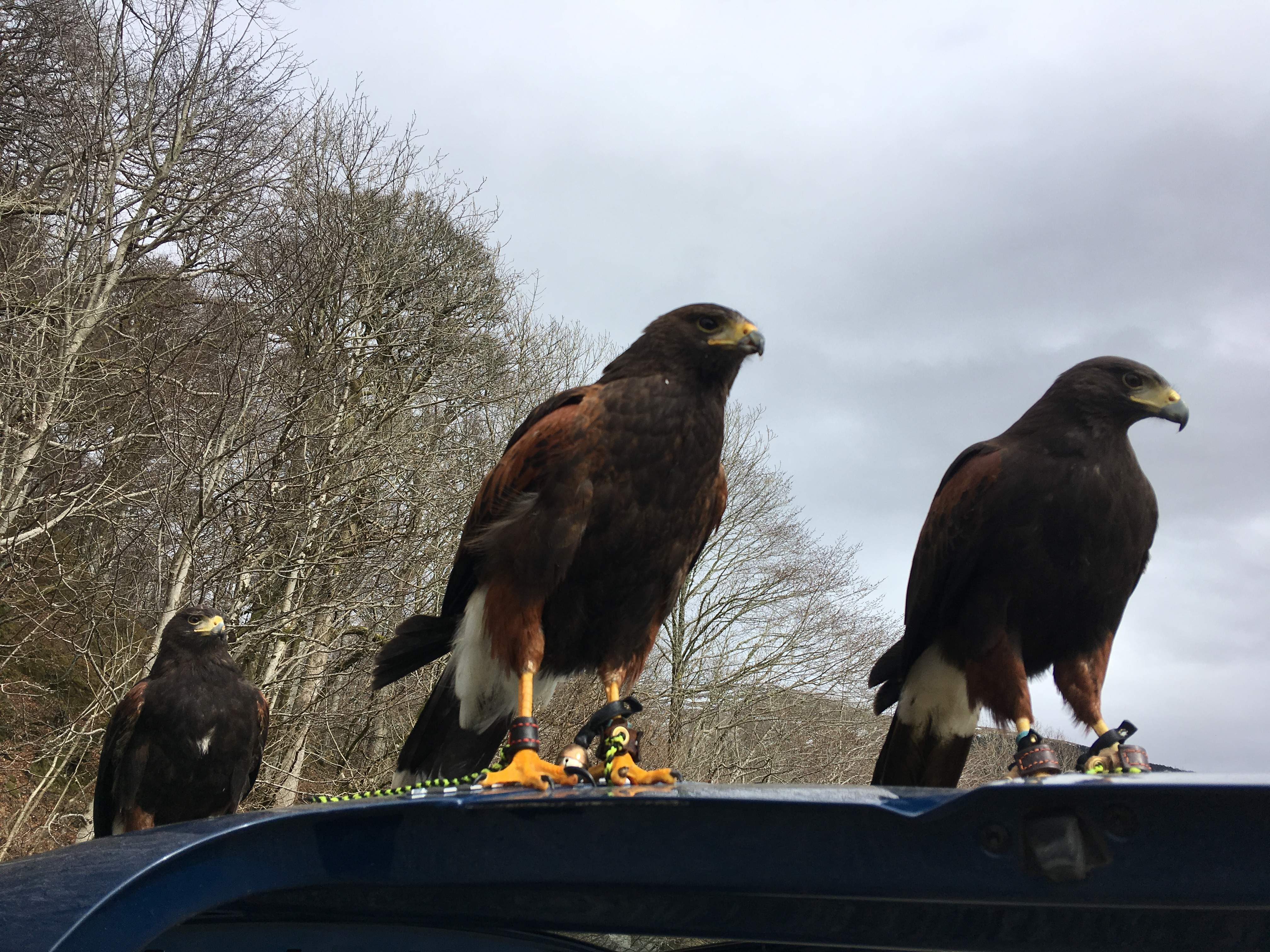 The 3 Amigos: Harris Hawks