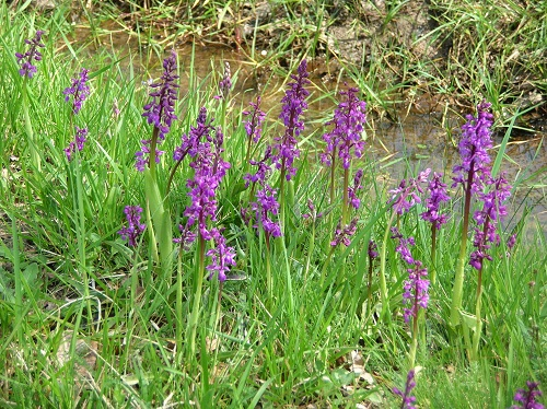 Early purple orchids  Orchis mascula in France