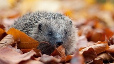 Link to Sussex Wildlife Trust page on hedgehogs