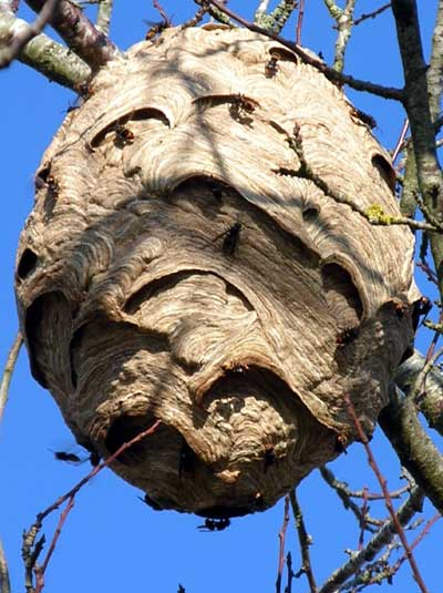 Asian Hornet nest in a tree, France