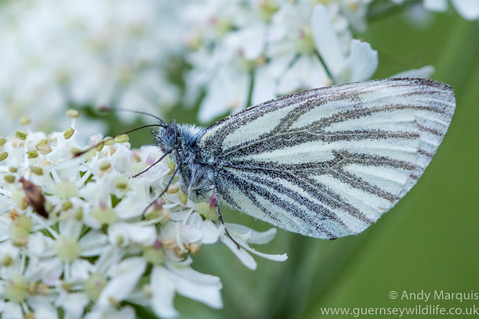 Green Veined White 5209