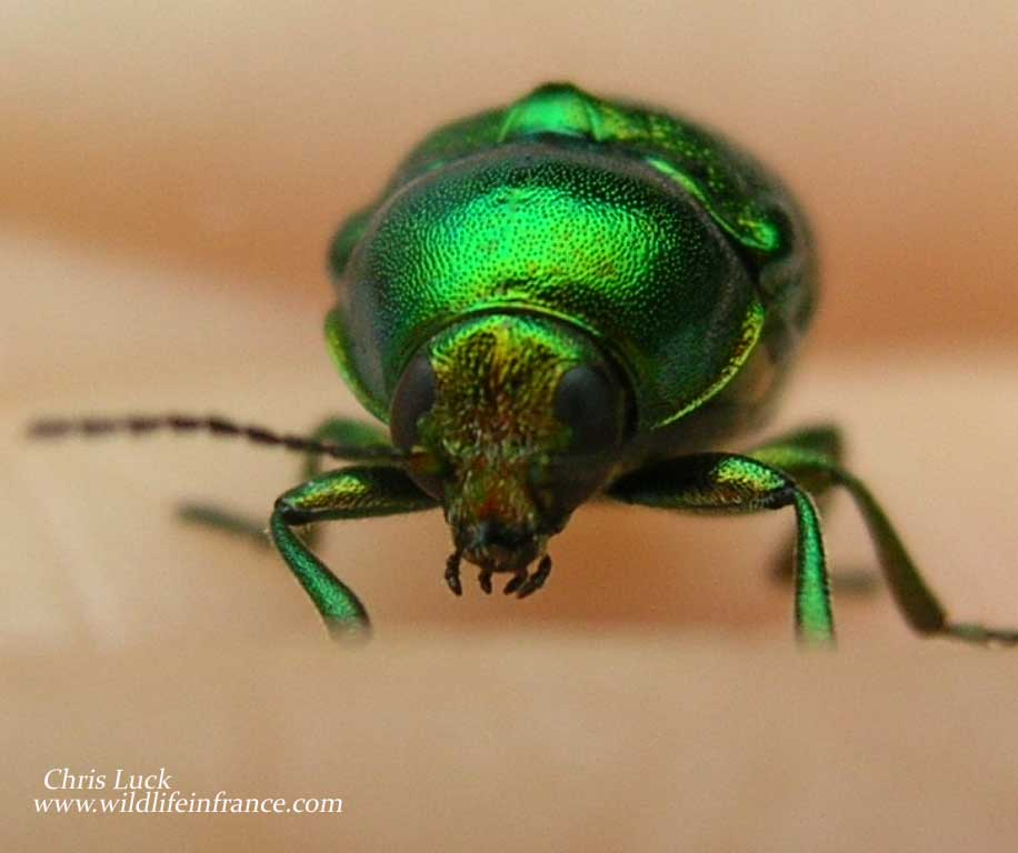 Green beetle in France