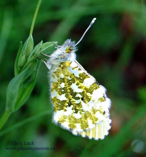 Orange tip butterfly Female, France