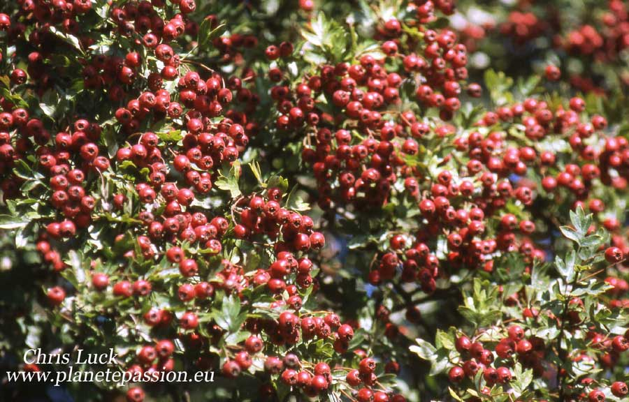 Hawthorn berries in France