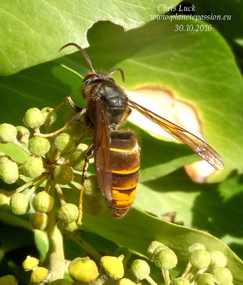 Asian Hornet Queen feeding on ivy, France