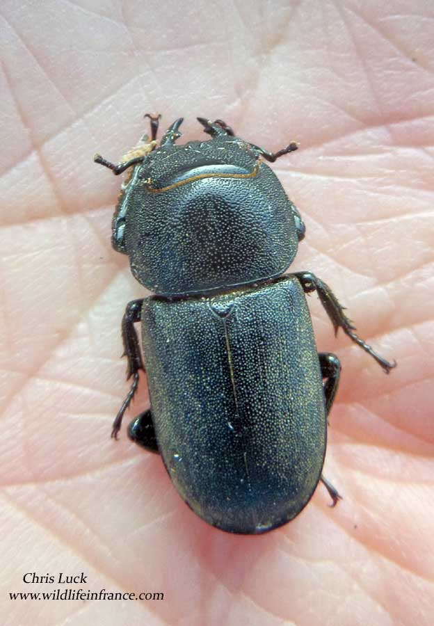Lesser stag beetle in France