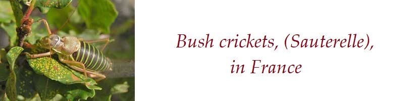 Bush cricket France