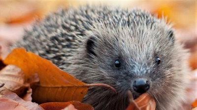 Link to info on hegdehogs in the garden