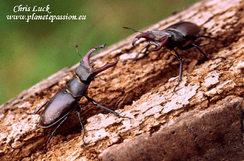 Two male stag beetles in France