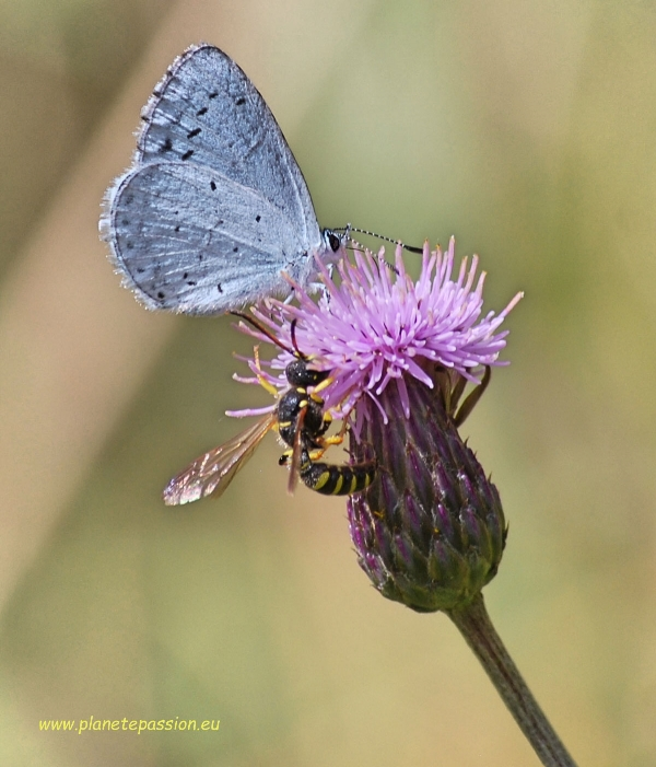 Holly blue butterfly and Paper wasp on Creeping thistle France