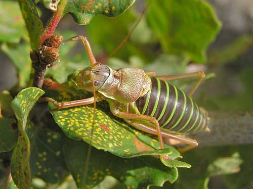 Saddle-backed bush cricket