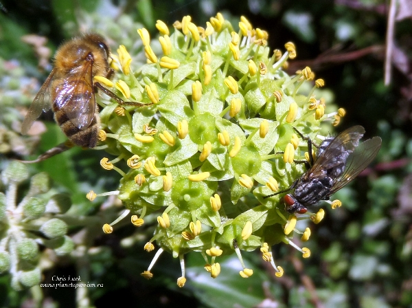 Ivy flower with fly and Honey bee in France