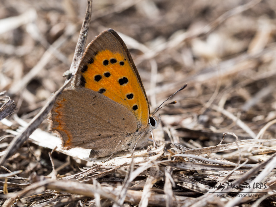 Small Copper 8011753