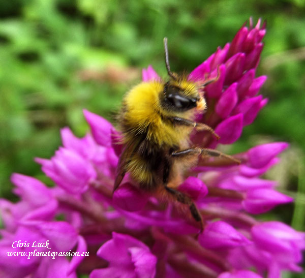 Early nesting bumble bee on Pyramid orchid.in France