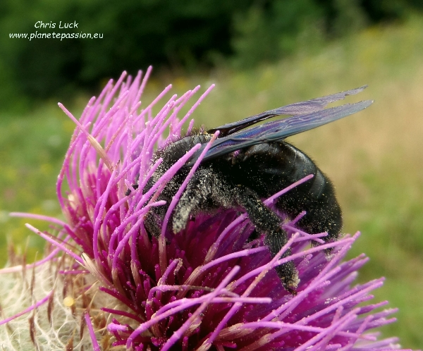 Carpenter bee Xylocopa violacea on Wooly thistle France
