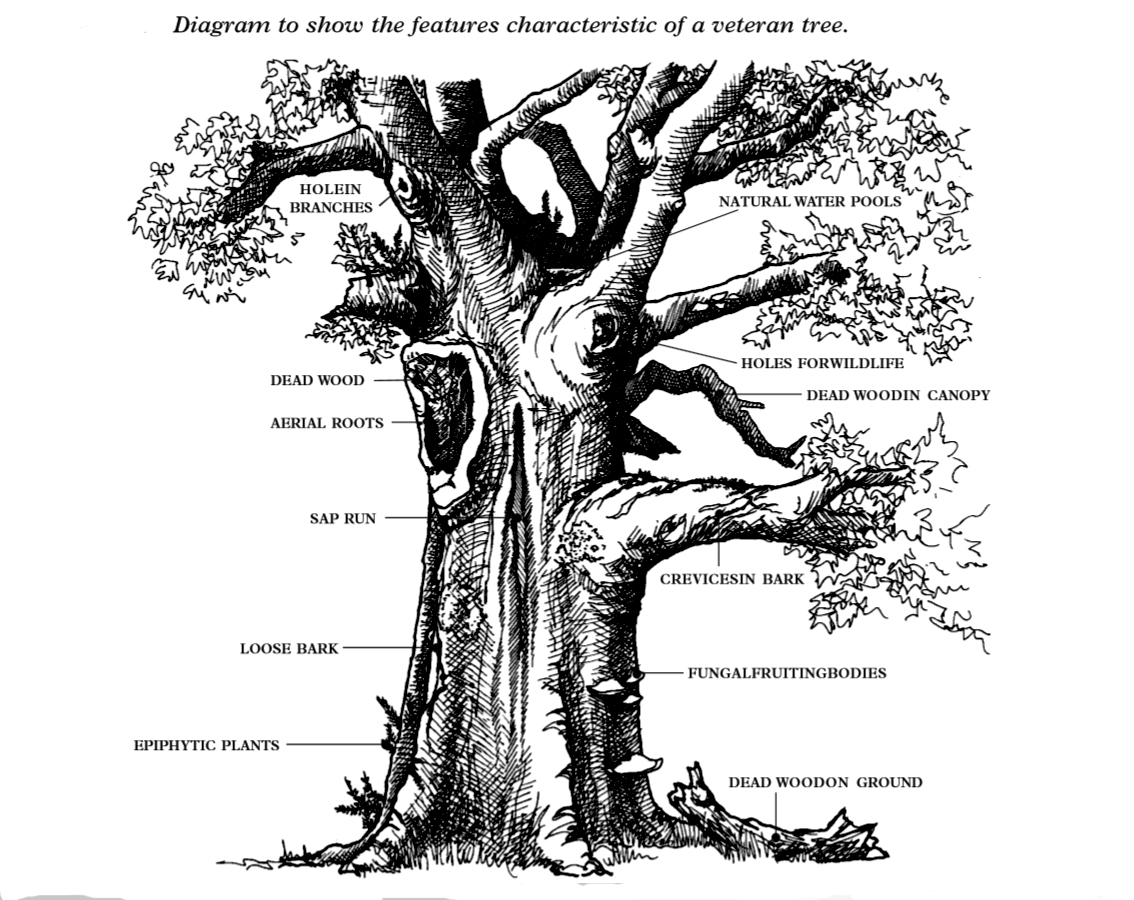 Diagram veteran tree France