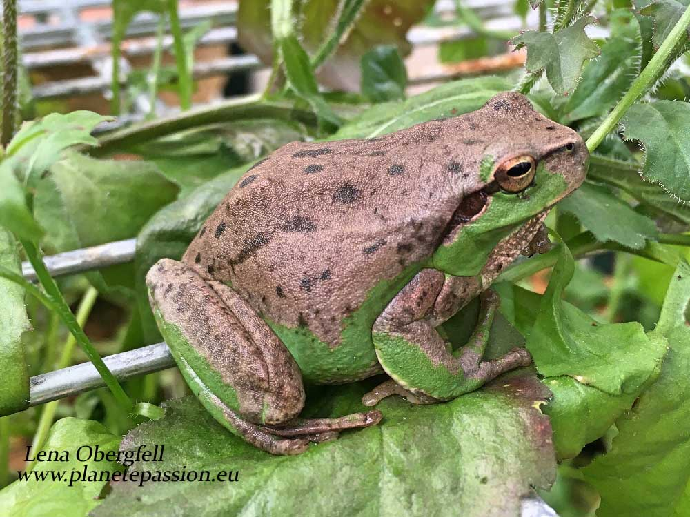 Stripeless tree frog with unusual pigmentation France