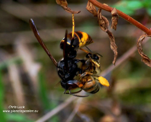 Asian Hornet killing honey bee, France