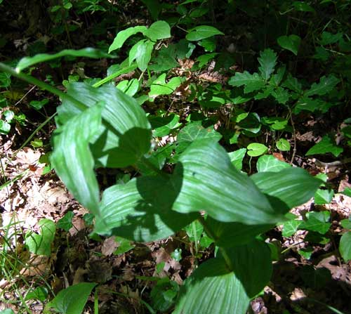 Broad leaved helleborine   Epipactis helleborine Leaves, France