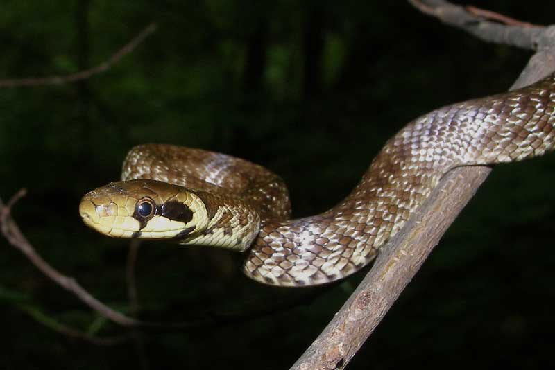 Photo Juvenile Aesculapian snake