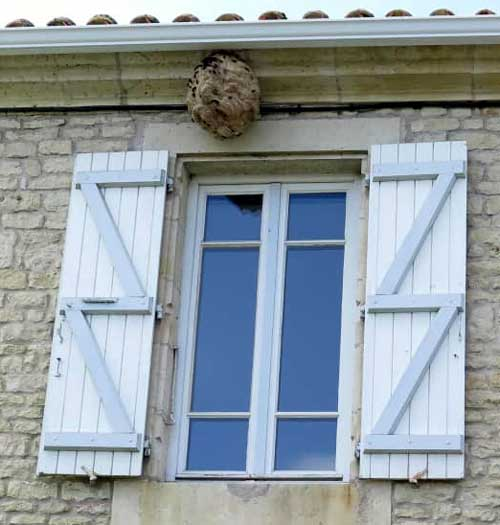 Asian Hornet nest under house eaves, France