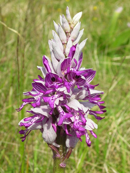 Military Orchid  Orchis militaris France