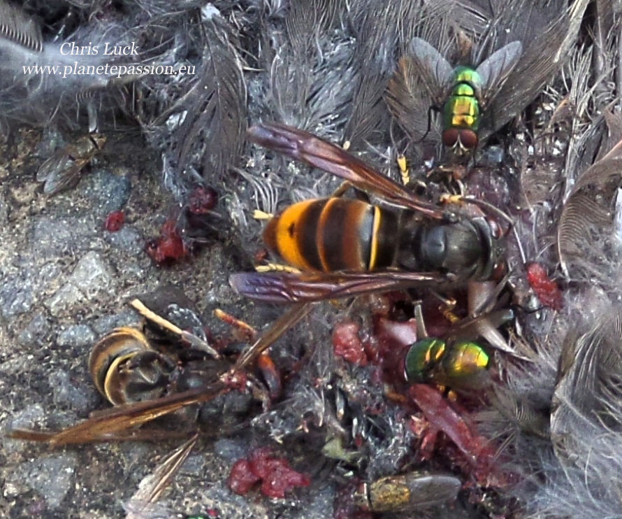 Asian Hornet and dead blackbird, France