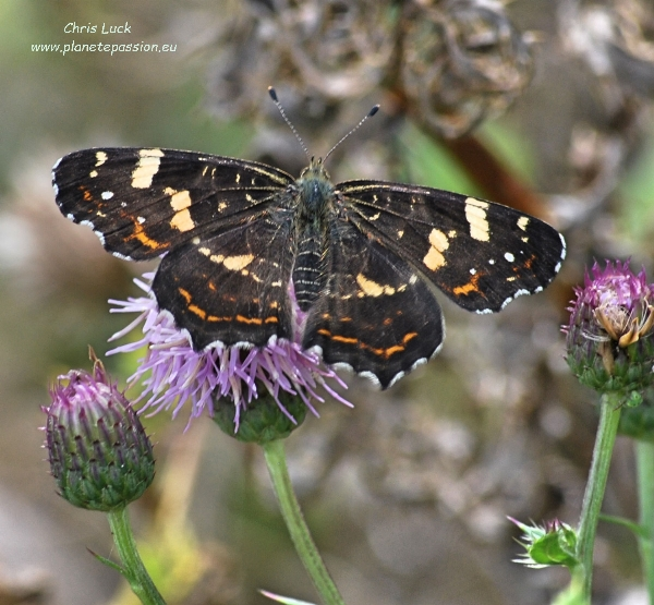 2nd generation Map butterfly on Creeping thistle France