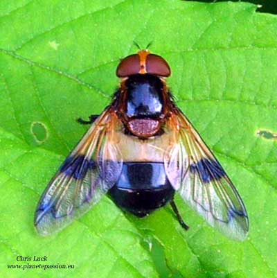 Volucella pellucens France