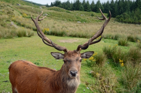 A Scottish deer
