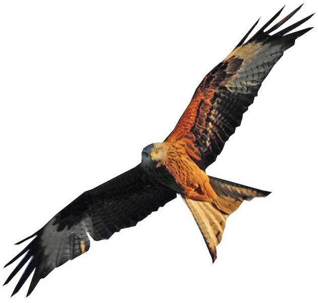 A red kite, recently re-introduced into Dumfries and Galloway by Scottish Natural Heritage and now thriving once more