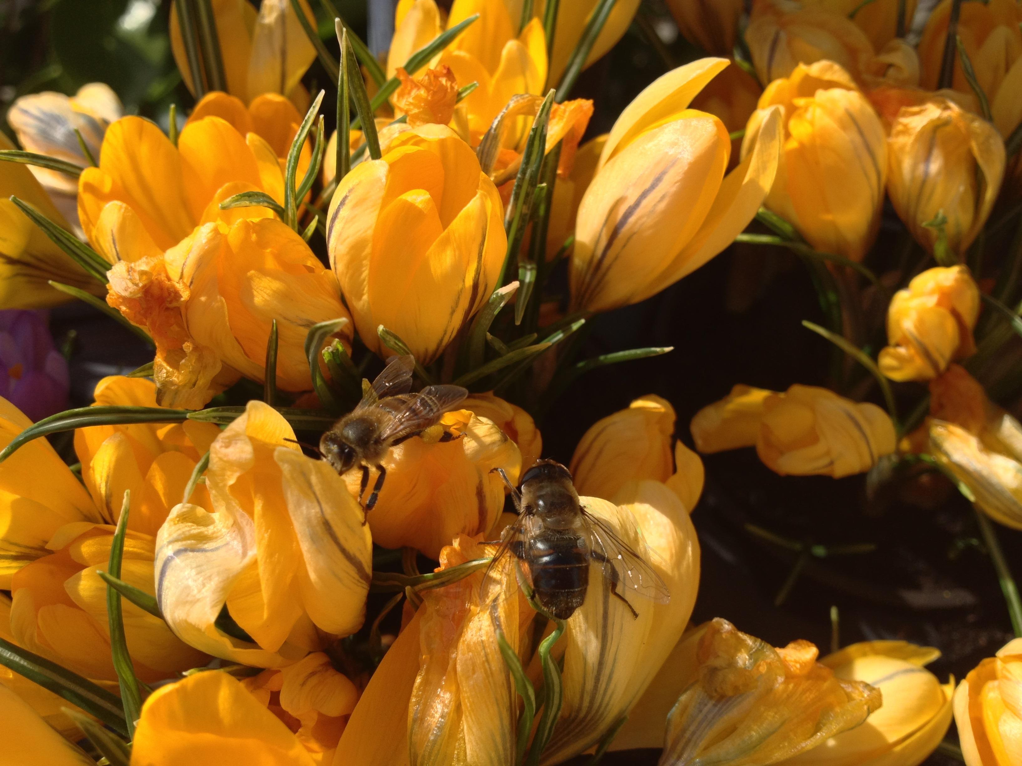 Honeybeeoncrocusjpeg