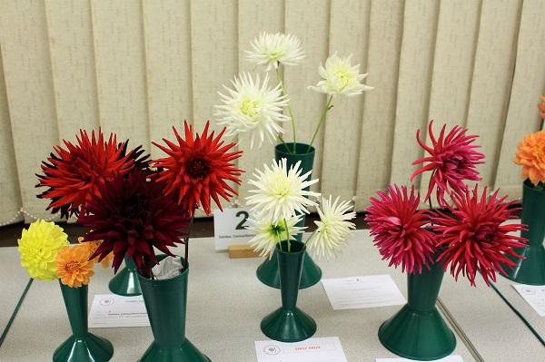 Dahlias, Cactus & Semi-Cactus