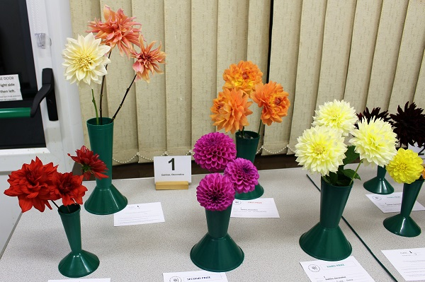 Dahlias, Decorative