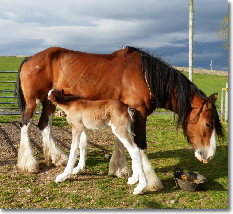 Clydesdale horses at East Challoch self-catering holiday cottages and bed and breakfast, Scotland