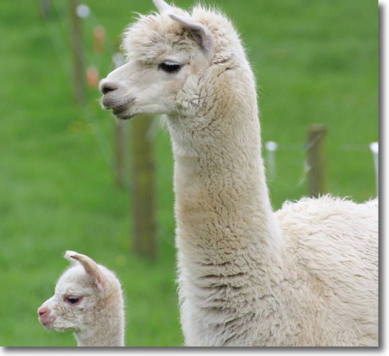 Alpacas at East Challoch self-catering holiday cottages and bed and breakfast, Scotland