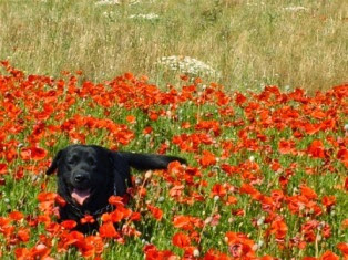 Dog walking in Poppy Fields WalKeys llp
