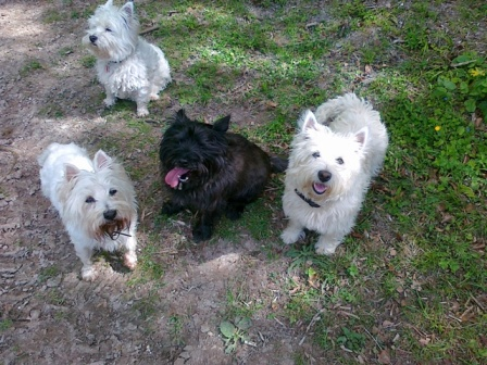Group of Scottie dogs in Day care Oxfordshire and Berkshire