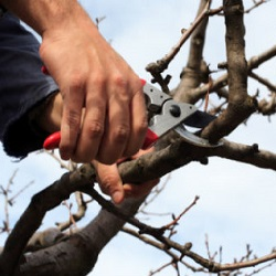 Pruning, Tree Surgery, Haslemere, Liphook, Midhurst 1