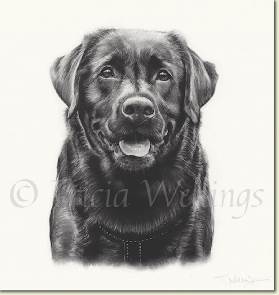 Wilson the labrador, another stunning dog painting by Tricia Wellings of Chichester