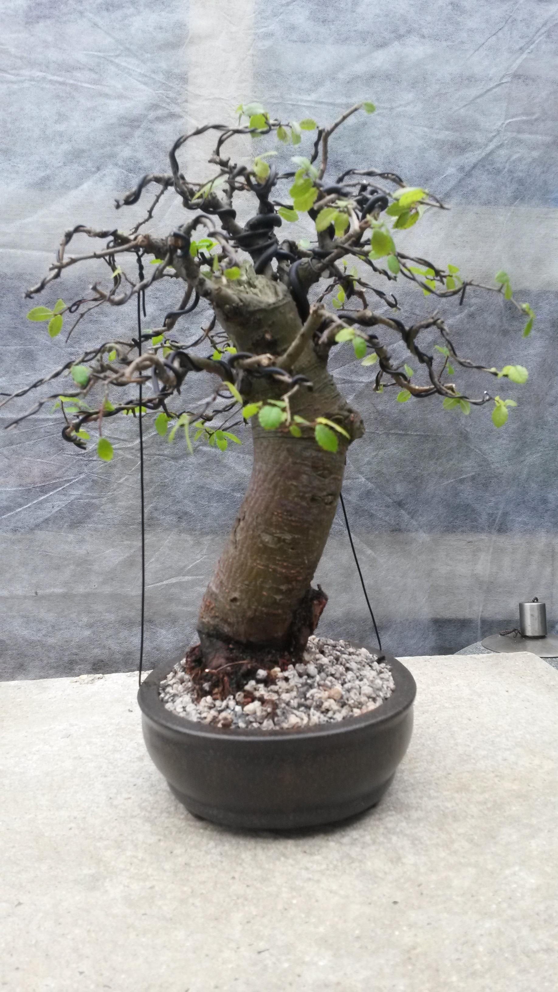 Chunky Little Chinese Elm Wiring Bonsai So The Wire Was Then Added Such Fiddly Work On Small Trees You Hear People Say I Hate Well Using Aluminium